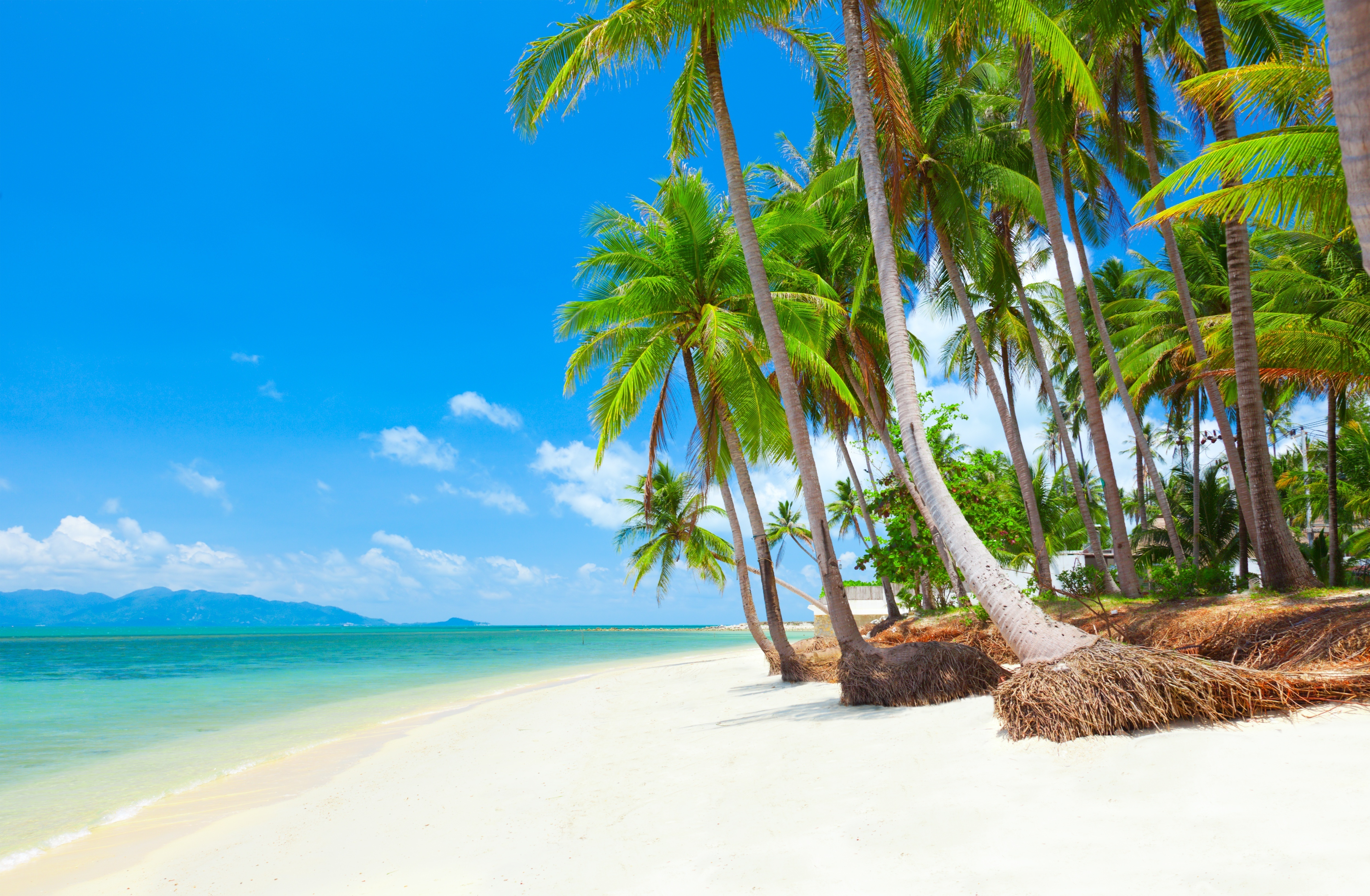 Big tropical beach with coconut palm trees. koh samui  thailand